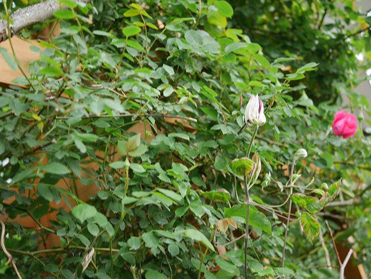 レッドスター(早咲き大輪系 パテンス系 新・旧両枝咲き)の蕾が膨らんで来た。2021年-001.jpg