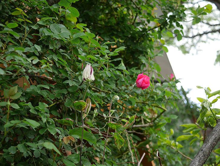 レッドスター(早咲き大輪系 パテンス系 新・旧両枝咲き)の蕾が膨らんで来た。2021年-002.jpg