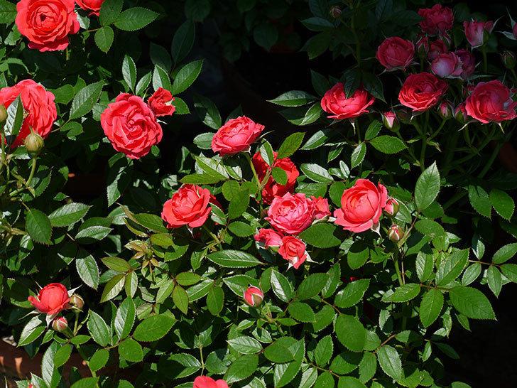 レッドミニモ(ミニバラ)の2番花が咲いた。2017年-1.jpg