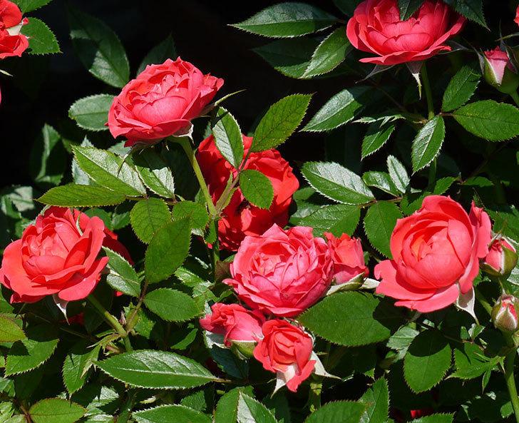 レッドミニモ(ミニバラ)の2番花が咲いた。2017年-2.jpg