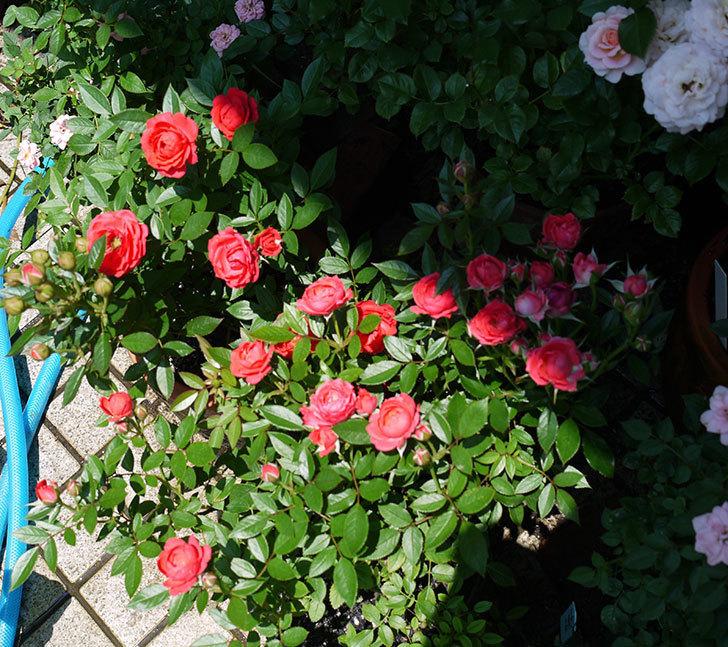 レッドミニモ(ミニバラ)の2番花が咲いた。2017年-3.jpg
