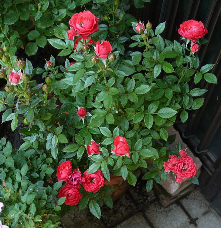 レッドミニモ(ミニバラ)の2番花が咲いた。2017年-4.jpg