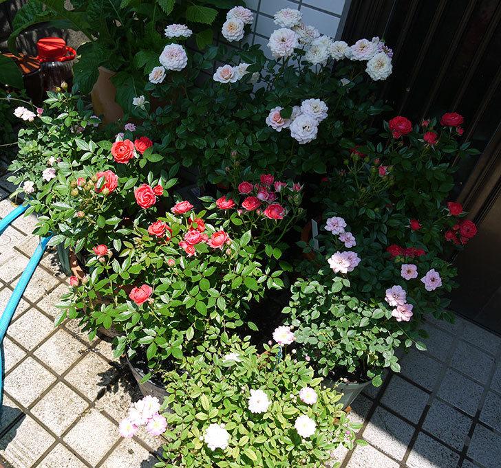 レッドミニモ(ミニバラ)の2番花が咲いた。2017年-5.jpg