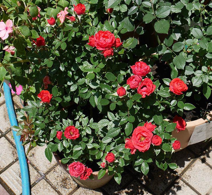 レッドミニモ(ミニバラ)の2番花が咲いた。2018年-1.jpg