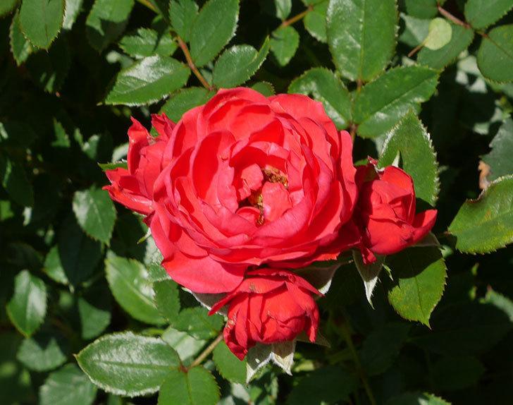 レッドミニモ(ミニバラ)の2番花が咲いた。2018年-2.jpg