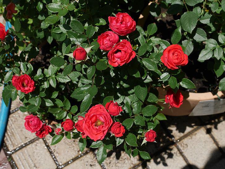 レッドミニモ(ミニバラ)の2番花が咲いた。2018年-3.jpg
