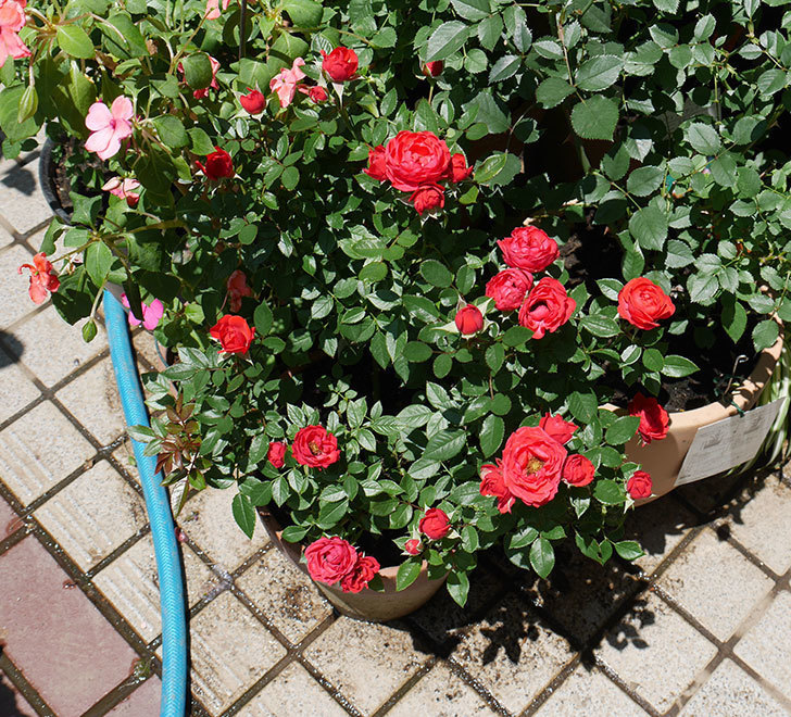 レッドミニモ(ミニバラ)の2番花が咲いた。2018年-4.jpg