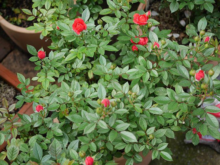 レッドミニモ(ミニバラ)の2番花が咲いた。2019年-2.jpg