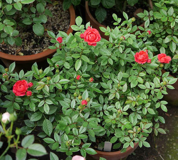 レッドミニモ(ミニバラ)の2番花が咲いた。2019年-5.jpg