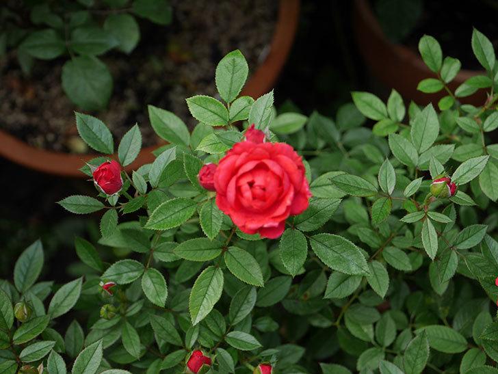 レッドミニモ(ミニバラ)の2番花が咲いた。2019年-6.jpg