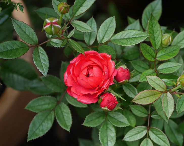 レッドミニモ(ミニバラ)の2番花が咲いた。2019年-8.jpg