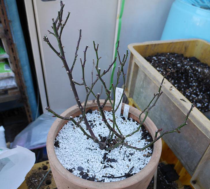 レッドミニモ(ミニバラ)の植え替えと冬剪定をした。2018年-1.jpg
