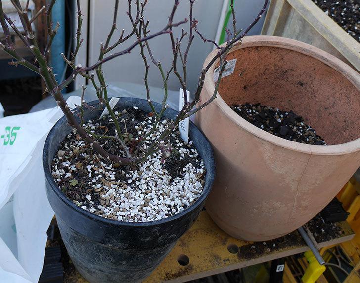 レッドミニモ(ミニバラ)の植え替えと冬剪定をした。2018年-3.jpg