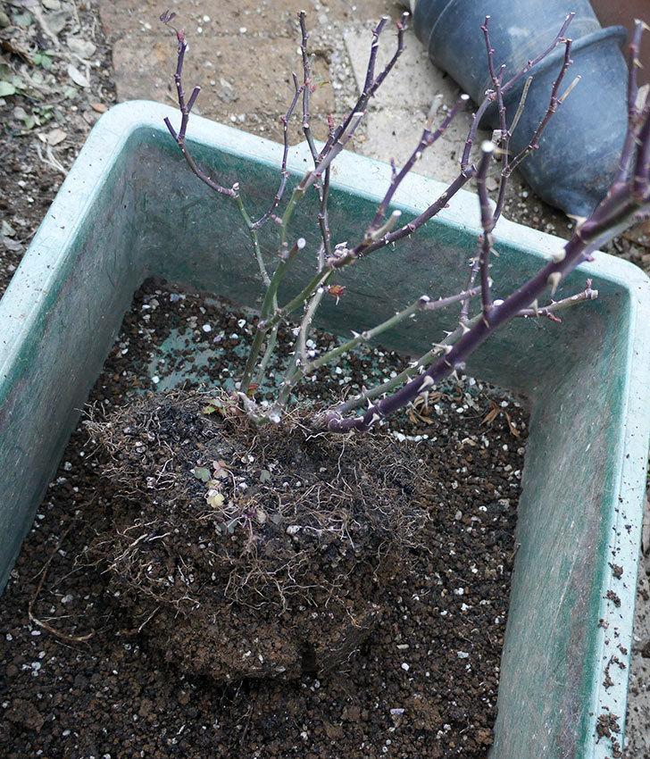 レッドミニモ(ミニバラ)の植え替えと冬剪定をした。2018年-4.jpg