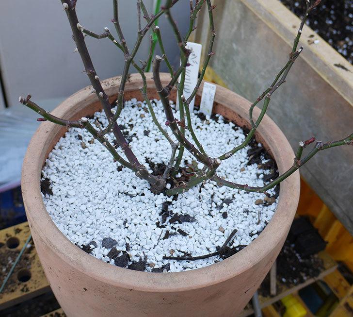 レッドミニモ(ミニバラ)の植え替えと冬剪定をした。2018年-7.jpg
