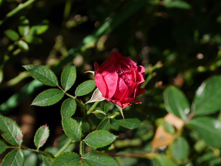 レッドミニモ(ミニバラ)の秋花がまた咲いた。2020年-005.jpg
