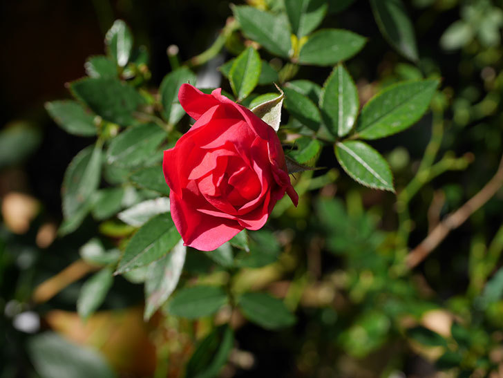 レッドミニモ(ミニバラ)の秋花がまた咲いた。2020年-007.jpg