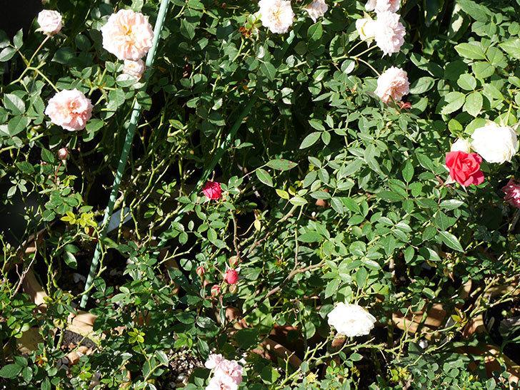 レッドミニモ(ミニバラ)の秋花がまた咲いた。2020年-009.jpg
