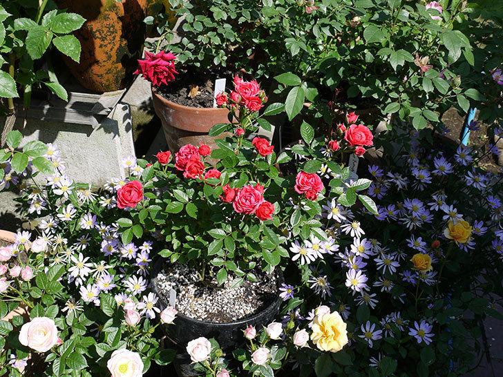 レッドミニモ(ミニバラ)の花がたくさん咲いた。2017年-9.jpg