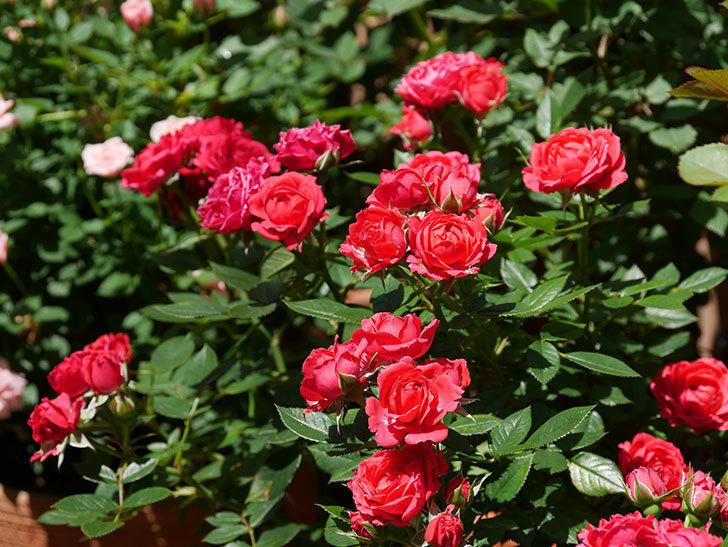 レッドミニモ(ミニバラ)の花がたくさん咲いた。2019年-1.jpg