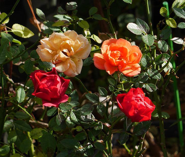 レッドミニモ(ミニバラ)の花がまだ咲いている。2019年-1.jpg