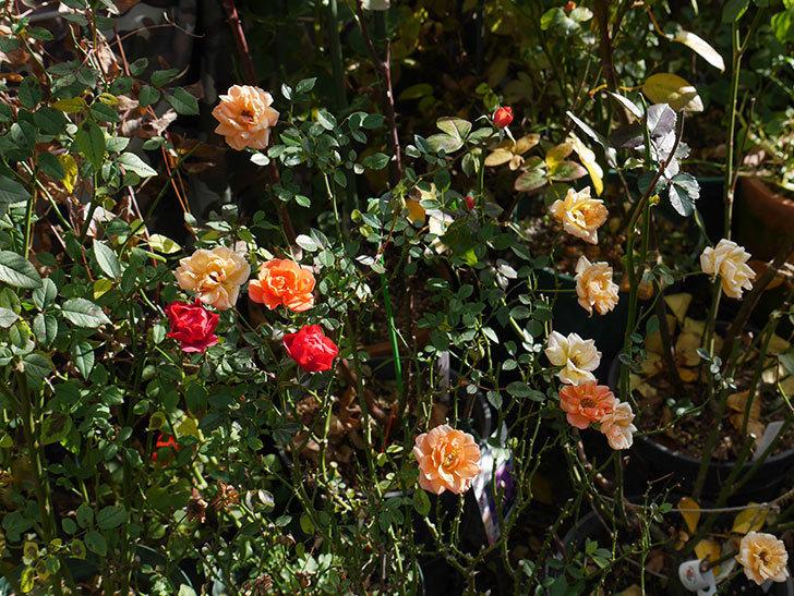 レッドミニモ(ミニバラ)の花がまだ咲いている。2019年-2.jpg