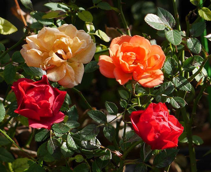 レッドミニモ(ミニバラ)の花がまだ咲いている。2019年-3.jpg