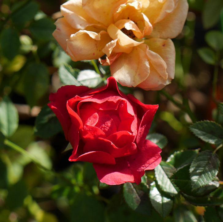 レッドミニモ(ミニバラ)の花がまだ咲いている。2019年-4.jpg