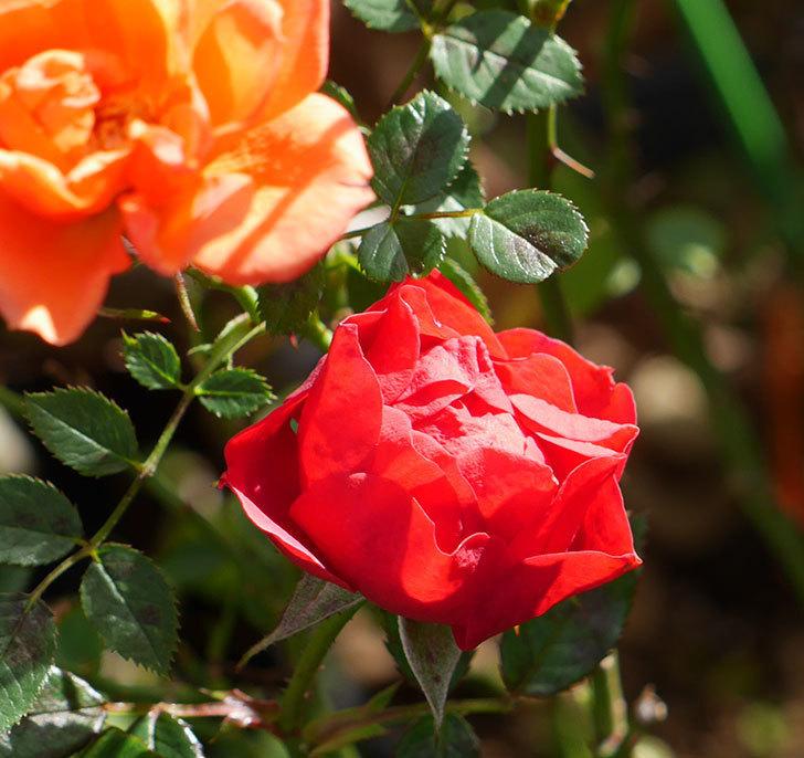 レッドミニモ(ミニバラ)の花がまだ咲いている。2019年-5.jpg