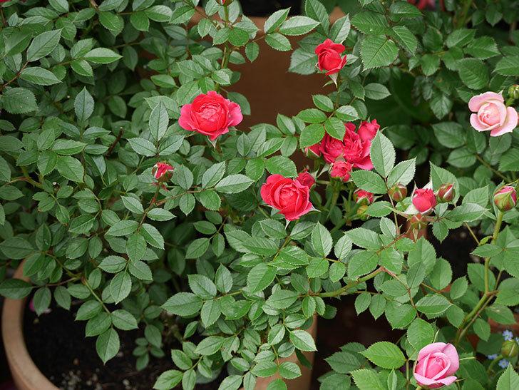 レッドミニモ(ミニバラ)の花が咲いた。2018年-5.jpg