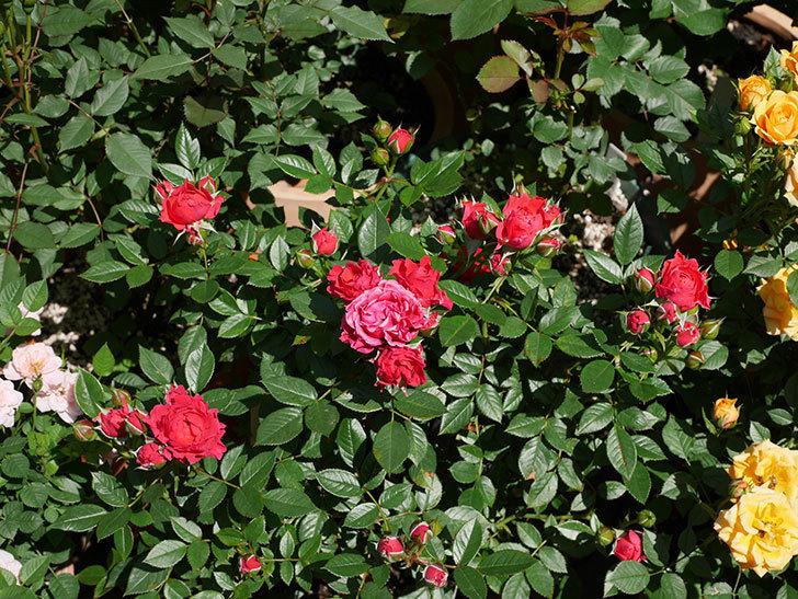 レッドミニモ(ミニバラ)の花が咲いた。2019年-1.jpg