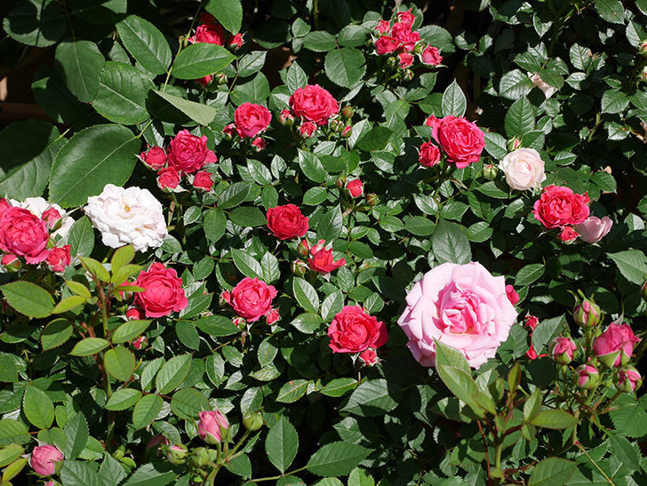 レッドミニモ(ミニバラ)の花が咲いた。2019年-2.jpg