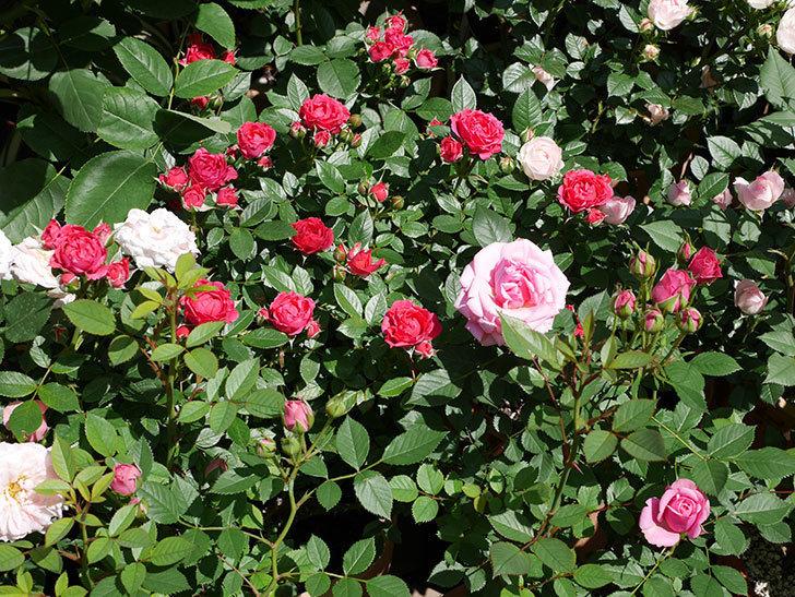 レッドミニモ(ミニバラ)の花が咲いた。2019年-3.jpg