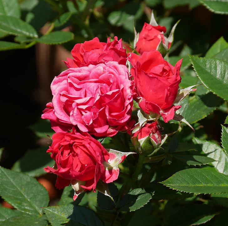 レッドミニモ(ミニバラ)の花が咲いた。2019年-5.jpg