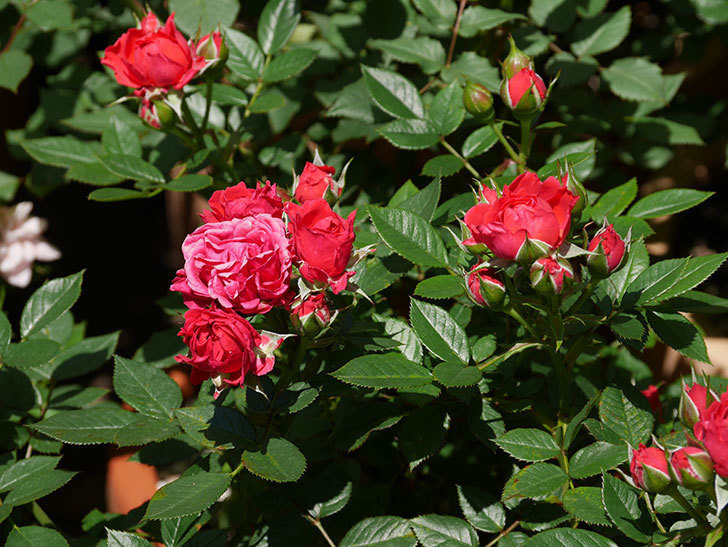 レッドミニモ(ミニバラ)の花が咲いた。2019年-6.jpg