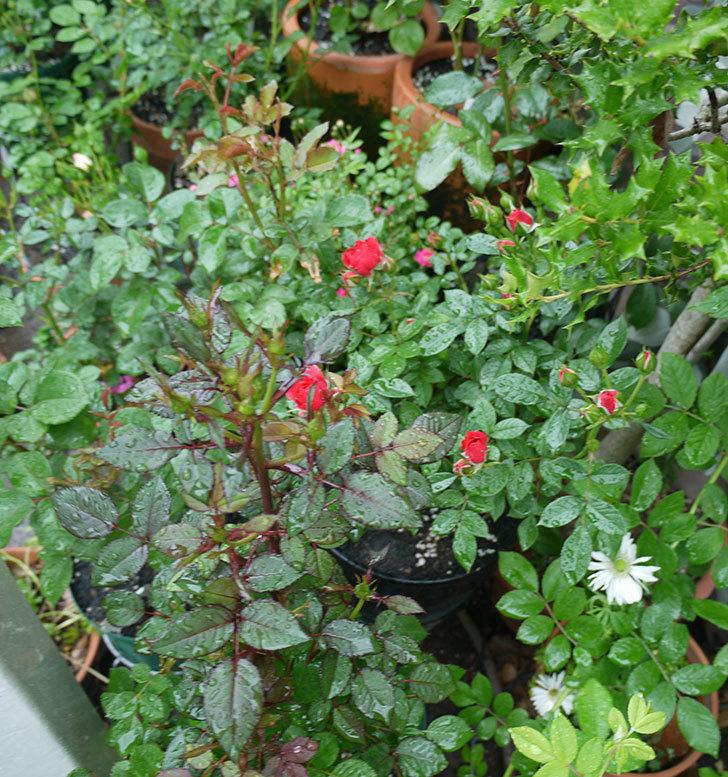 レッドミニモ(ミニバラ)の花が咲きだした。2017年-7.jpg