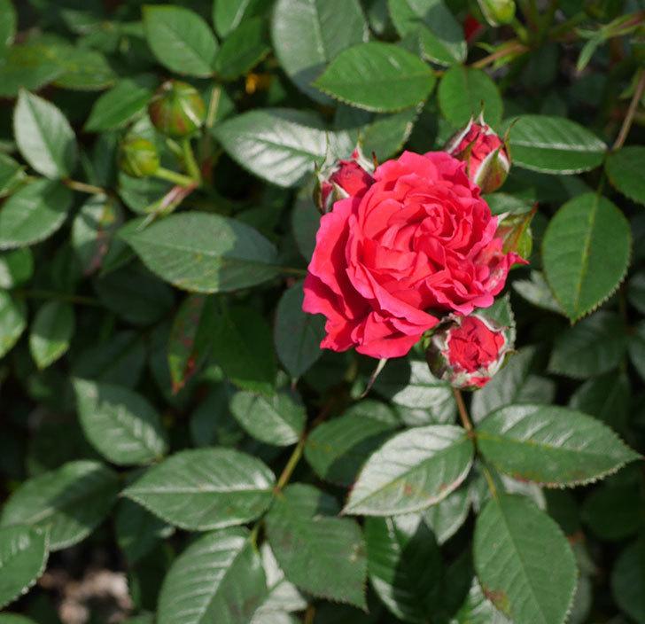 レッドミニモ(ミニバラ)の花が咲きだした。2019年-1.jpg