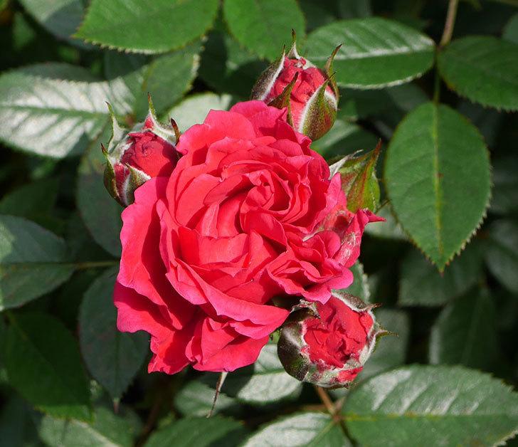 レッドミニモ(ミニバラ)の花が咲きだした。2019年-2.jpg