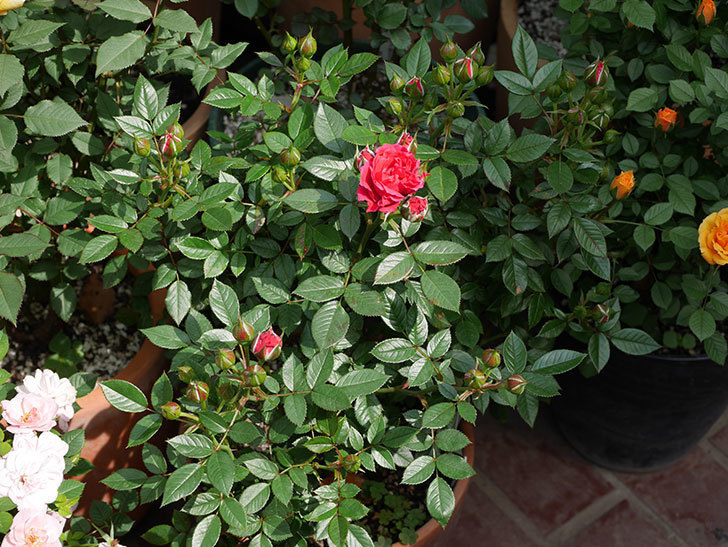 レッドミニモ(ミニバラ)の花が咲きだした。2019年-3.jpg