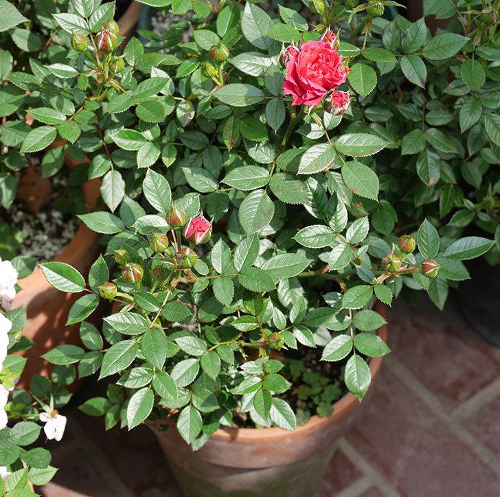 レッドミニモ(ミニバラ)の花が咲きだした。2019年-4.jpg