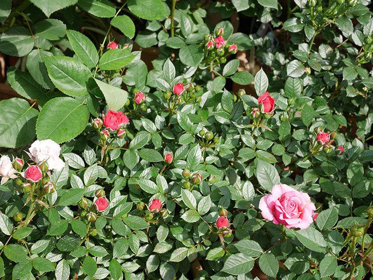 レッドミニモ(ミニバラ)の花が咲きだした。2019年-6.jpg