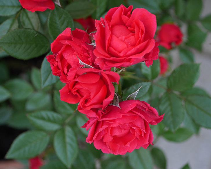 レッドミニモ(ミニバラ)の花が増えてきた。2018年-1.jpg