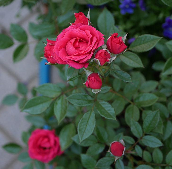 レッドミニモ(ミニバラ)の花が増えてきた。2018年-4.jpg