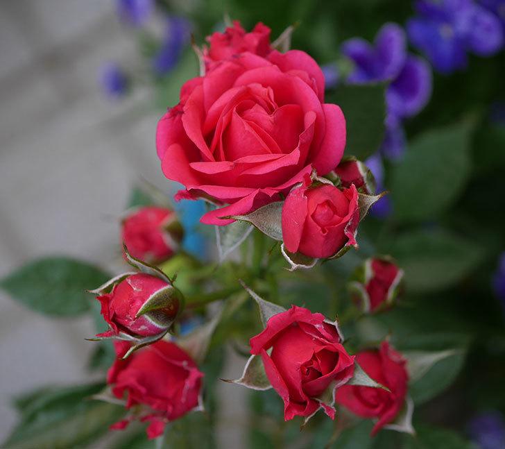 レッドミニモ(ミニバラ)の花が増えてきた。2018年-5.jpg