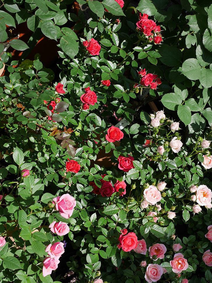 レッドミニモ(ミニバラ)の花が増えてきた。2018年-6.jpg