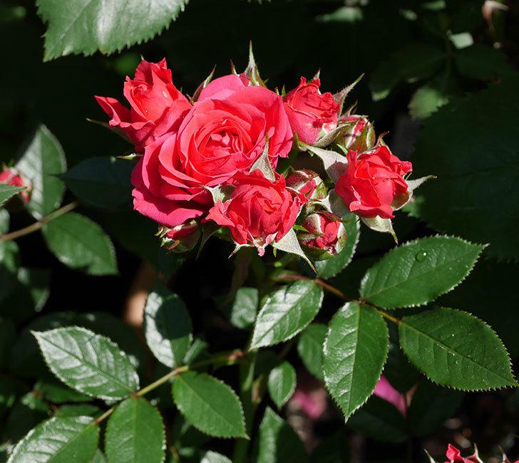 レッドミニモ(ミニバラ)の花が増えてきた。2018年-7.jpg