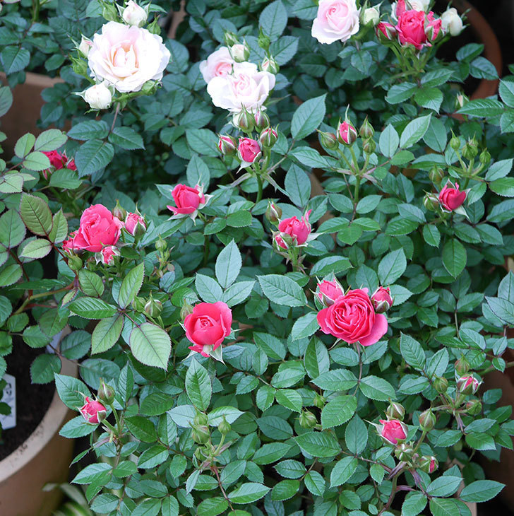 レッドミニモ(ミニバラ)の花が増えてきた。2020年-1.jpg