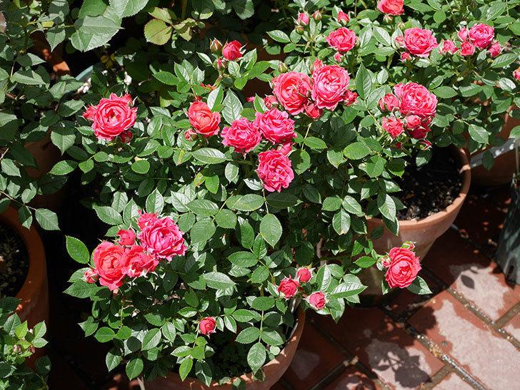 レッドミニモ(ミニバラ)の花が増えて来た。2019年-1.jpg