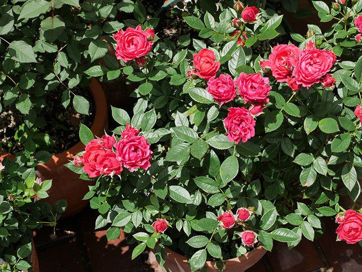 レッドミニモ(ミニバラ)の花が増えて来た。2019年-2.jpg