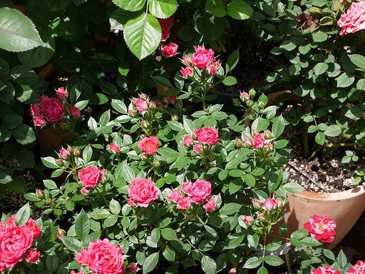レッドミニモ(ミニバラ)の花が増えて来た。2019年-3.jpg